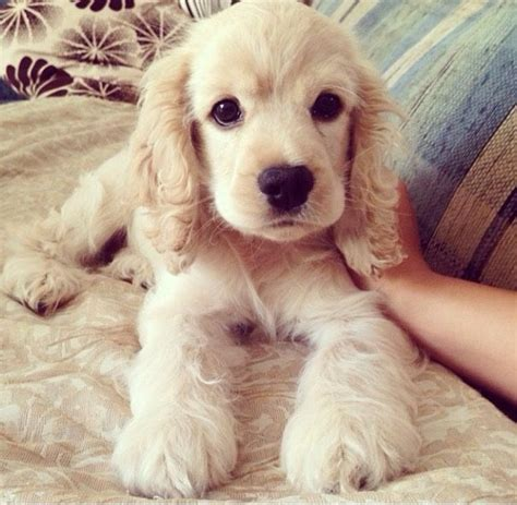 fluffy puppies best 25 fluffy puppies ideas on puppies adorable puppies and