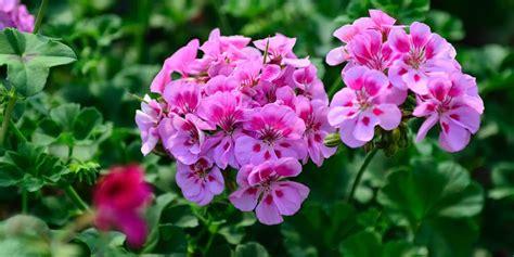geranio fiore fiori commestibili geranio acquista