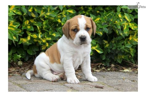 beabull puppies beabull puppy for sale near lancaster pennsylvania e0d5a7e2 67c1 pets world