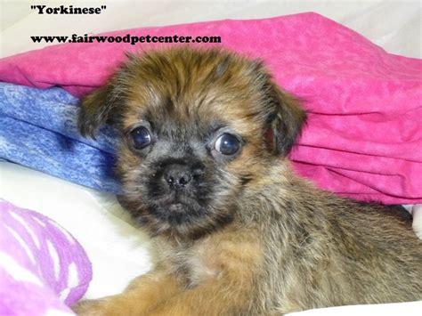 pekingese yorkie pekingese terrier our puppies