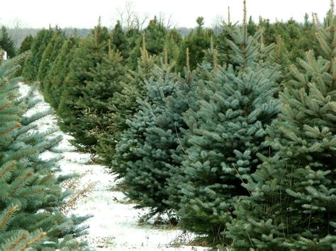 where to get a christmas tree in the dc area wtop