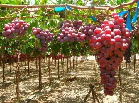 uva da tavola l esperienza di tradecorp agronotizie