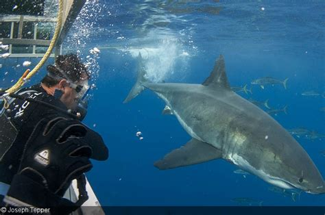 cage dive with sharks shark cage diving underwater photography