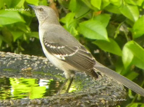 state birds florida state bird related keywords florida state bird