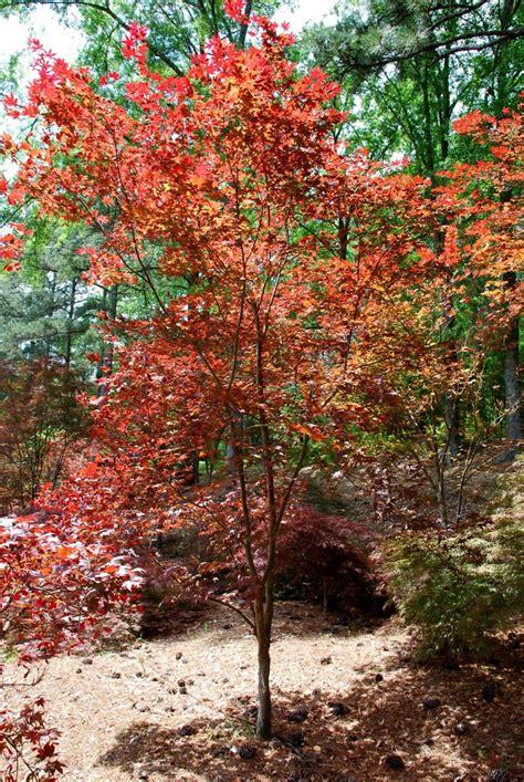japanese maple bloodgood my favorite trees pinterest