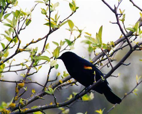 wallpaper black bird birds pigeons pakistan black bird awesome wallpaper