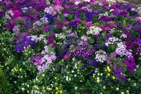 perennial flowering ground covers