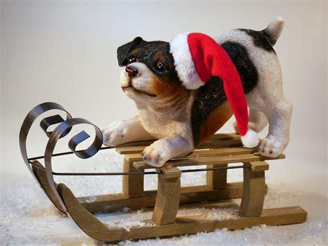 stock photo  bulldog christmas dog
