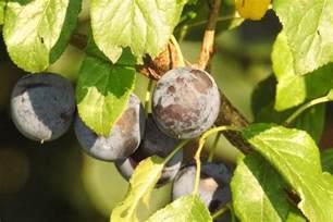 plum tree burgundy sierra vista growers