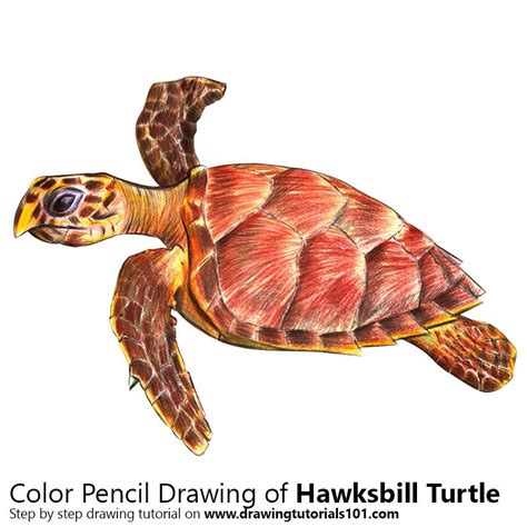 what color is a turtle hawksbill turtle colored pencils drawing hawksbill