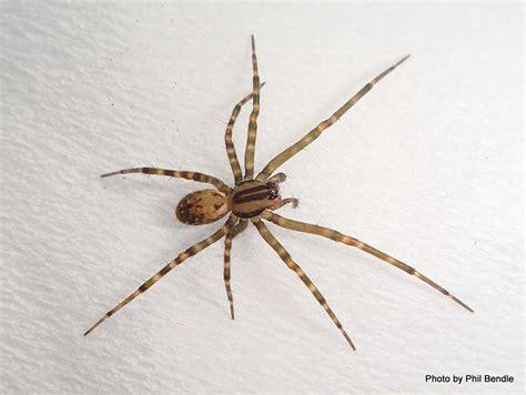 domestic house spider domestic house spider bite
