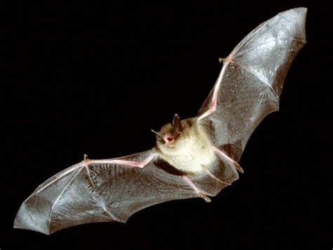 bat infected with rabies found in berkeley local in