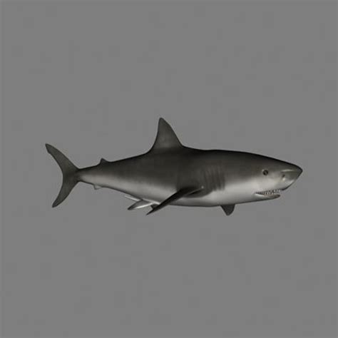 Great White Shark Clip by Great White Shark Clipart Animated Pencil And In Color