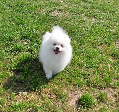 pomeranian boo breed white pomeranian boo cambridge cambridgeshire pets4homes