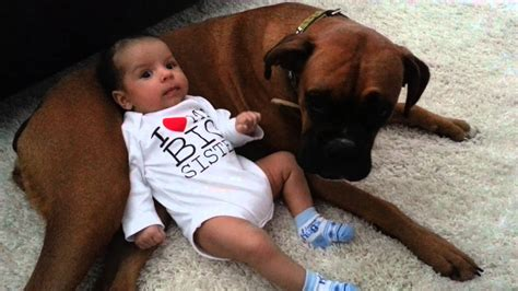 boxer puppies ta baby uses boxer as pillow