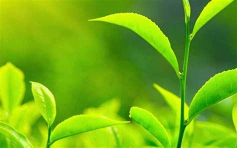 Satu Kotak Teh Hijau 10 manfaat teh hijau untuk kesehatan dan kecantikan