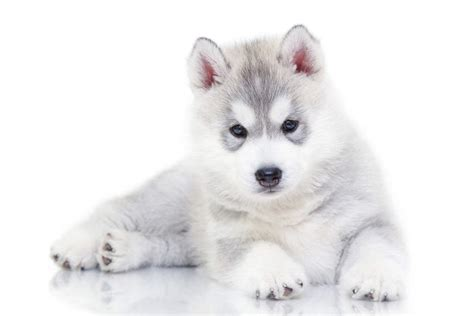 Huskies Turkis siberian husky dogs breed information omlet
