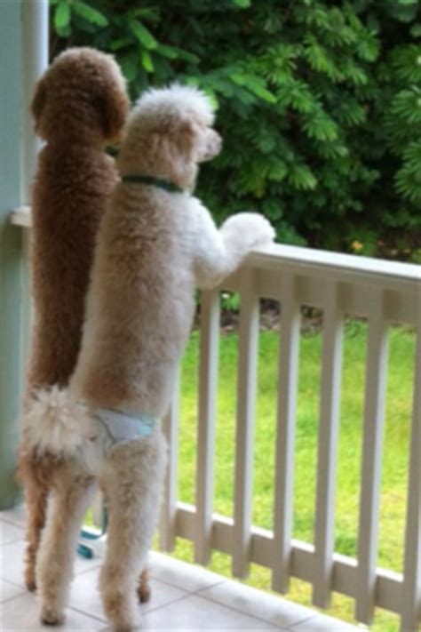 when can i take my puppy outside for a walk how soon can i take my royal hawaiian standard poodle outside or to a park