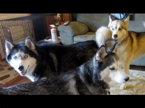 Do Huskys Shed by Oakley S Baby Do Huskies Shed A Lot Fan Friday 53