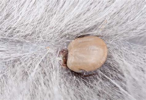 tick borne illness in dogs tick borne diseases and your pet lyme disease treatment petmd