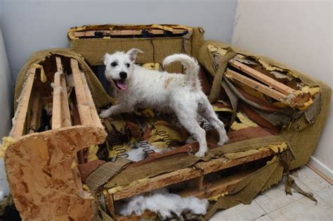 dog eats couch is this britain s most destructive dog peaches the tiny