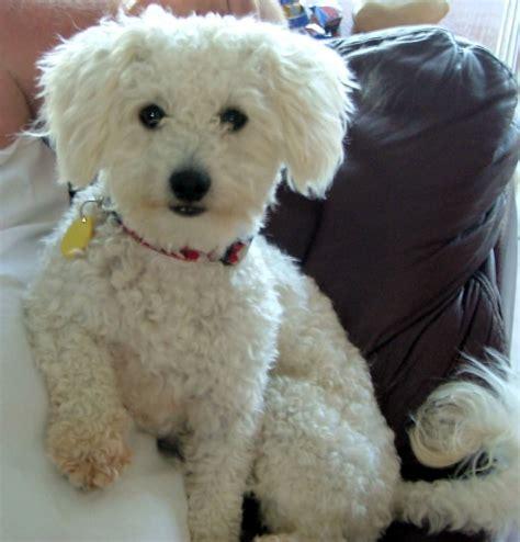 poochon haircuts bichon poodle haircut styles bing images