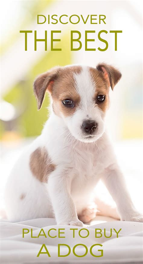 places to buy puppies where to buy a or puppy a guide to sellers