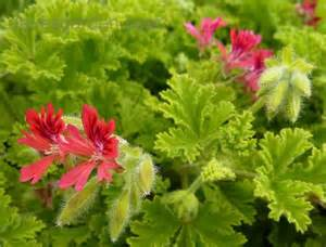plantfiles pictures scented geranium concolor lace