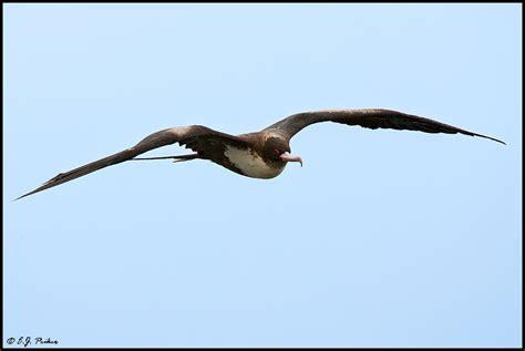 Great Frigatebird Page