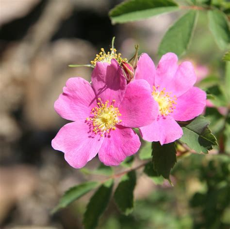 state flower of iowa wwe wrestlers profile iowa state flower wild prairie rose