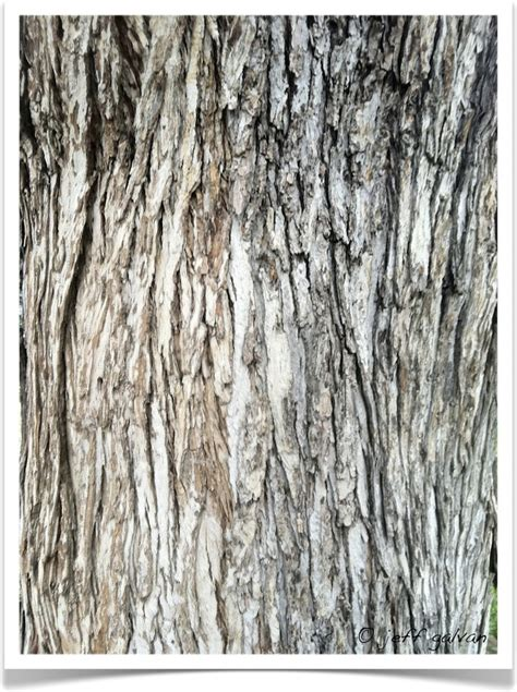 maple tree bark identification silver maple identify by bark boulder tree care pruning tree removal services
