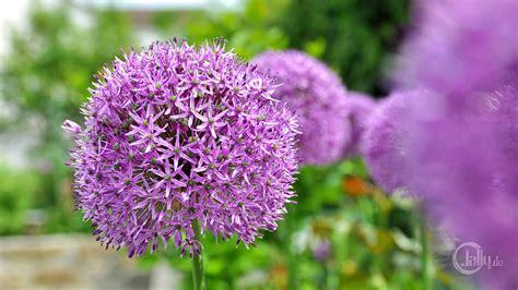 Garten Pflanzen Blaue Blüten die 65 besten lila blumen sch 246 ne hintergrundbilder