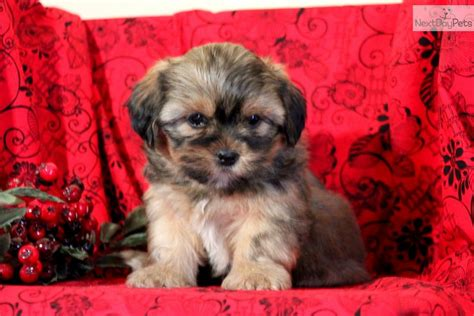 snorkie puppies shorkie puppy for sale near lancaster pennsylvania d84bf94f fc91
