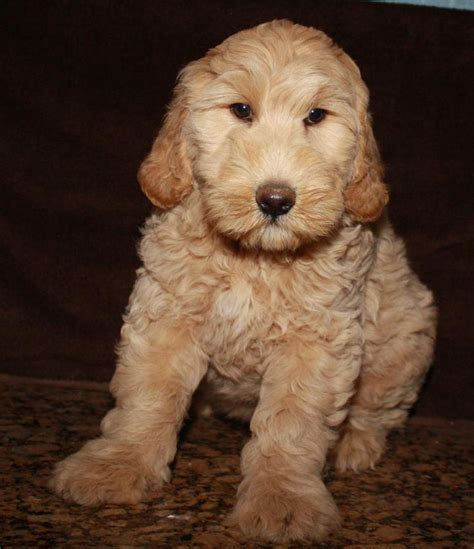 labradoodle puppies california top 25 ideas about puppies for sale chicago on small dogs for sale morkie