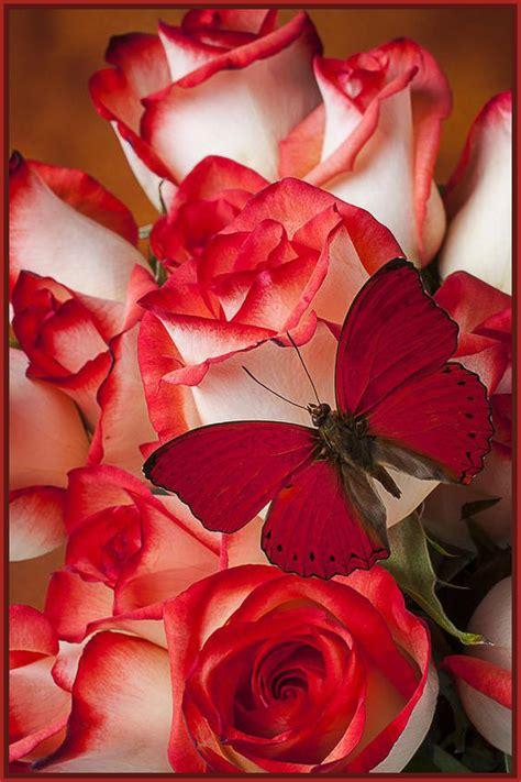 imagenes solo blancas sutiles fotos de rosas blancas imagenes de rosa