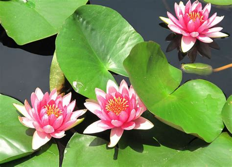 lotus flower growing blue lotus flower seed water seeds for growing view