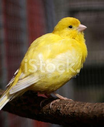 canaries bird yellow stock photos young yellow canary stock photos freeimages com