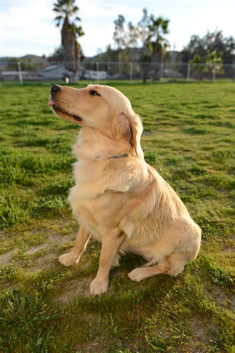 supplements for golden retrievers pansy chadwick s goldens chadwick s goldens
