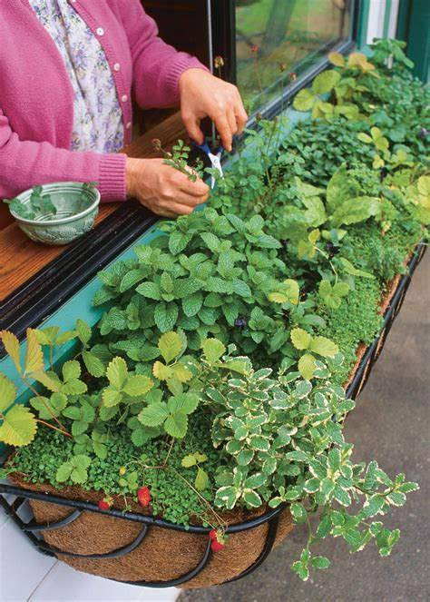 herb window box growing herbs in windowboxes vegetable gardener