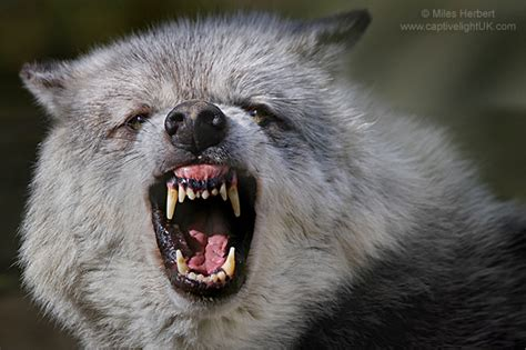 the snarl gallery snarl wolf