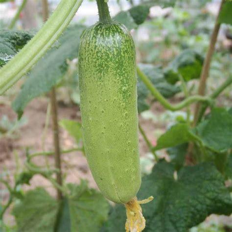 cucumber seeds 100pcs seeds cucumber organic self pollinating pickling