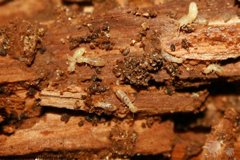 Termites In Furniture by Termite Products Termite Treatment Do Own
