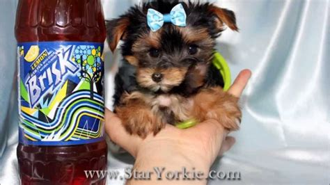 teacup yorkie for sale los angeles tiny teacup yorkie puppies for sale in los angeles ca
