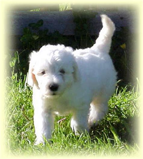 goldendoodle puppies for sale vancouver medium mini australian labradoodle puppies for sale