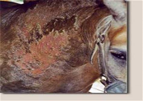haarausfall durch schuppen allergie headshaking photosensibilit 228 t pferd