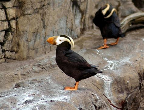 tufted puffins the iconic bird of cannon beach could be
