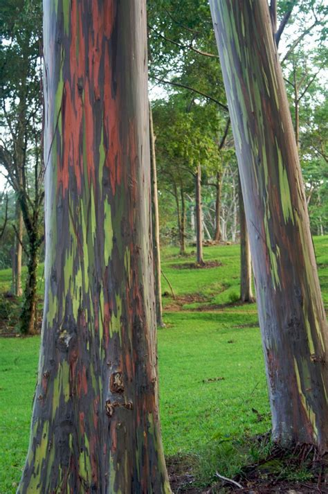rainbow eucalyptus rainbow eucalyptus tree 07 pics video curious funny