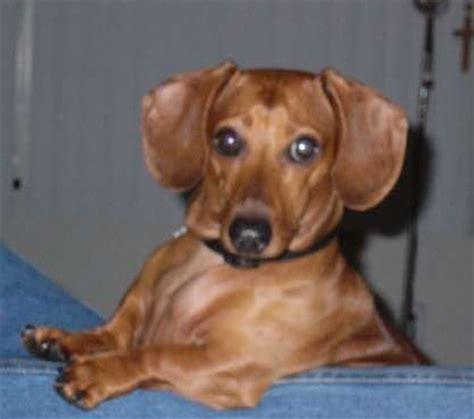 what of is scrappy doo s happy tails dachshund rescue of america