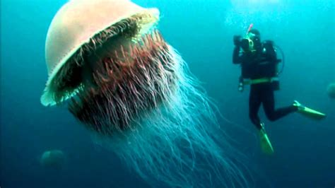 what is the largest in the world the jellyfish in the world www pixshark images galleries with a bite