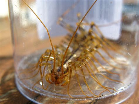 house centipede bite house centipede fangs bite not small and not happy abou flickr photo sharing